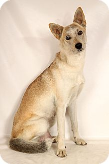 Husky Mix Dog for adoption in St. Louis, Missouri - Calysto