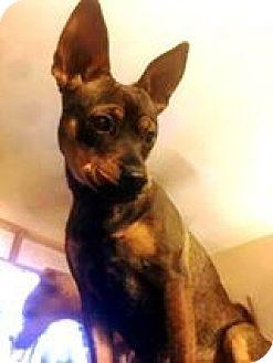 Shepherd (Unknown Type)/Pug Mix Dog for adoption in Tijeras, New Mexico - Minnie