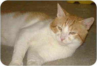Domestic Shorthair Cat for adoption in Chesapeake, Virginia - Marvin