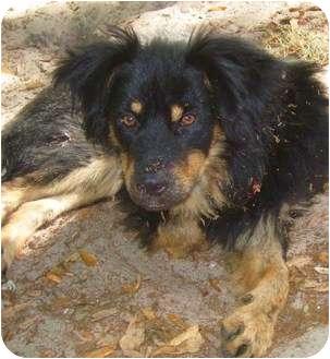 """Beans"" | Adopted Puppy | Nokomis, FL | Australian ..."