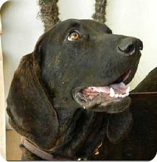Plott Hound Dog for adoption in Sacramento area, California - Jimmy Dreams