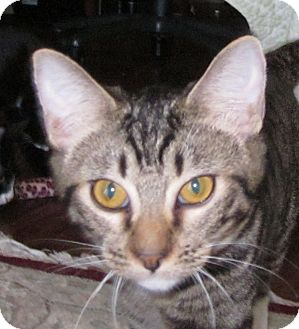 Domestic Shorthair Cat for adoption in Winchester, California - Winston