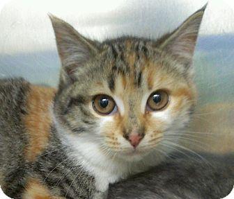 Domestic Shorthair Kitten for adoption in Richboro, Pennsylvania - Mary Tyler Moore