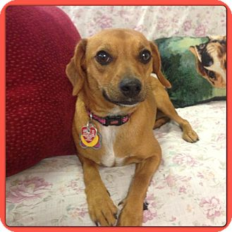 Ruby | Adopted Dog | Hollywood, FL | Greyhound/Dachshund Mix