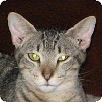 Domestic Shorthair Cat for adoption in Jacksonville, North Carolina - Rascal