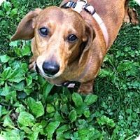 Adopt A Pet :: Hobo - PA - Jacobus, PA