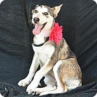 Adopt A Pet :: Ariel - Plano, TX