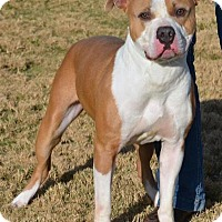 Boxer/Pit Bull Terrier Mix Dog for adoption in Georgetown, Texas - Mojo