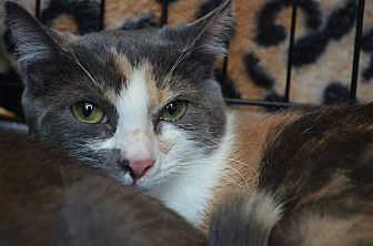 Calico Cat for adoption in Greer, South Carolina - Sansa