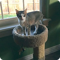Adopt A Pet :: Dream - Bentonville, AR