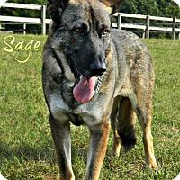 Adopt A Pet :: Sage 4372 - Sterling, VA