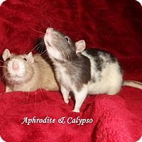 Adopt A Pet :: APHRODITE and CALYPSO - Philadelphia, PA
