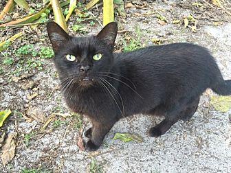 Domestic Shorthair Cat for adoption in Naples, Florida - Sensei