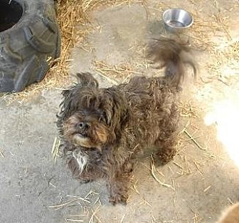 Poodle (Miniature)/Miniature Schnauzer Mix Dog for adoption in Pt. Richmond, California - CASH