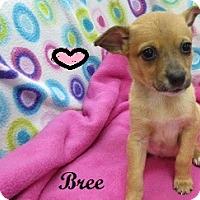 Adopt A Pet :: Bree - Bartonsville, PA