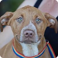 Adopt A Pet :: Bowie - Sunnyvale, CA