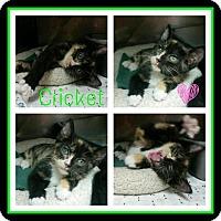 Adopt A Pet :: Cricket - Steger, IL