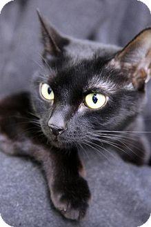 Bombay Cat for adoption in Brooklyn, New York - Navi