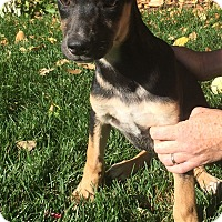 Doberman Pinscher/German Shepherd Dog Mix Puppy for adoption in Fort Collins, Colorado - Ariel (FORT COLLINS)