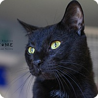 Domestic Shorthair Cat for adoption in Edwardsville, Illinois - Jesse