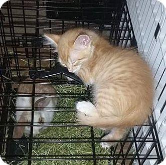 Domestic Shorthair Kitten for adoption in San Tan Valley, Arizona - Professor Fluff