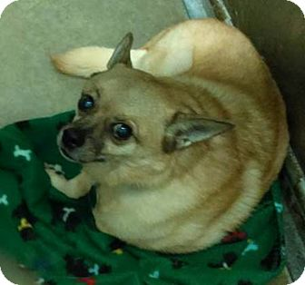 Spitz (Unknown Type, Small)/Pug Mix Dog for adoption in Claremore, Oklahoma - Flash