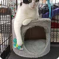 Domestic Shorthair Cat for adoption in Philadelphia, Pennsylvania - MAGGIE MOO!