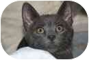 Domestic Shorthair Kitten for adoption in Delmont, Pennsylvania - Rufus