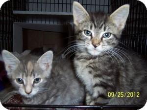 Domestic Shorthair Kitten for adoption in Island Park, New York - Gizmo