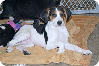 Foxhound/Beagle Mix Puppy for adoption in Minneola, Florida - Maddie