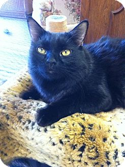 Domestic Longhair Cat for adoption in Fountain Hills, Arizona - BOO BOO