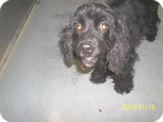 Cocker Spaniel Dog for adoption in Kannapolis, North Carolina - Molly  -Adopted!