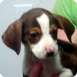 Beagle/Feist Mix Puppy for adoption in baltimore, Maryland - Cletus
