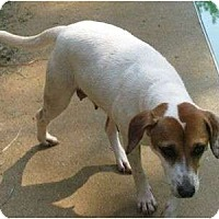 Jack Russell Terrier/Beagle Mix Dog for adoption in Snellville, Georgia - Lady Bird
