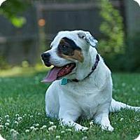 Adopt A Pet :: Sugar - Alexandria, VA