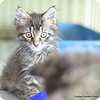 Adopt A Pet :: Sophie - Island Park, NY