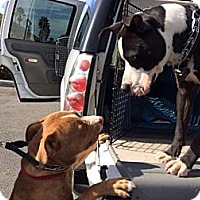Adopt A Pet :: Sundance - Huntington Beach, CA