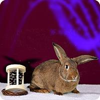 Adopt A Pet :: Caramellato - Marietta, GA