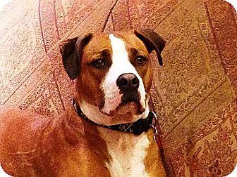 Boxer Puppy for adoption in Sunderland, Massachusetts - Little Dan