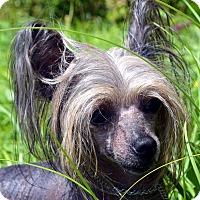 Adopt A Pet :: Zuki-Adoption pending - Bridgeton, MO