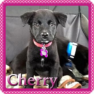 Labrador Retriever Mix Puppy for adoption in Kenmore, New York - Cherry