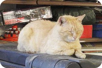 American Shorthair Cat for adoption in Greensburg, Pennsylvania - Mr. Mustard