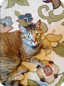 Abyssinian Cat for adoption in EASLEY, South Carolina - Poppy