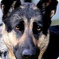 Adopt A Pet :: LILLY(GORGEOUS PB GERMAN SHEP! - Wakefield, RI