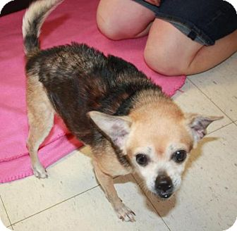 Chihuahua Mix Dog for adoption in Cottageville, West Virginia - Kaboodle