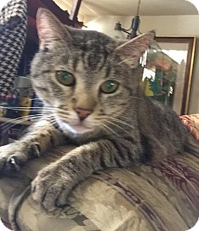Domestic Shorthair Cat for adoption in Santa Ana, California - Darcy (A)