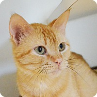 Domestic Shorthair Cat for adoption in Lincoln, Nebraska - Sherbet