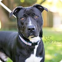 Adopt A Pet :: Pooh Bear - Reisterstown, MD