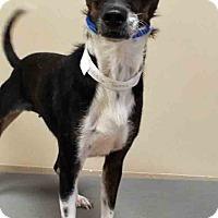 Adopt A Pet :: Tootsie - Oswego, IL