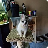 Adopt A Pet :: Cat-Snoopy - Denver, CO